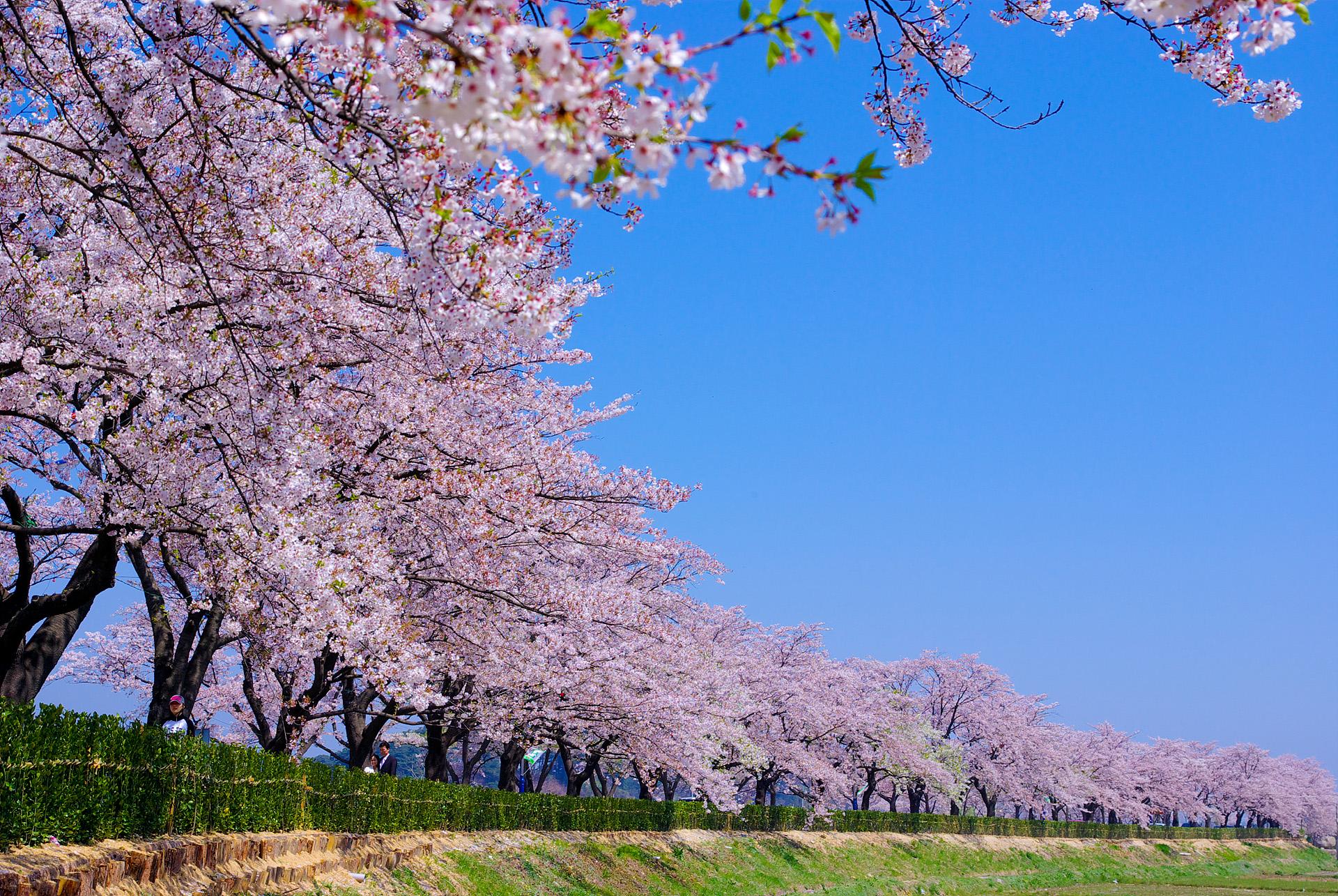 경포벚꽃.jpg